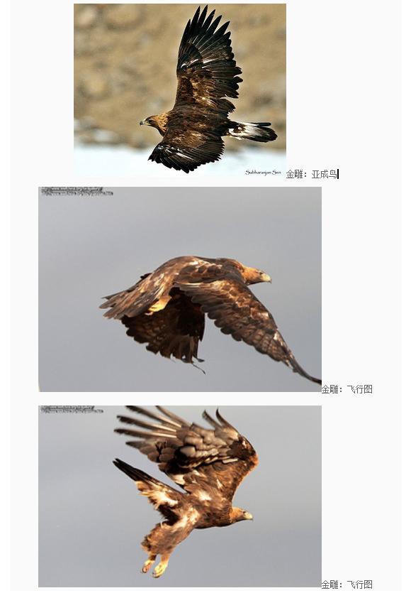 金雕- 吉林省野生动物救护繁育中心